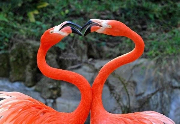 fotos animais flamingo coracao[7].jpg