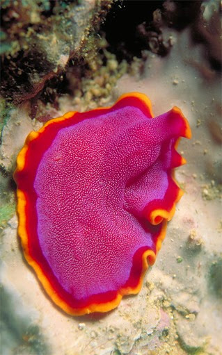 Amazing Pictures of Animals, Photo, Nature, Incredibel, Funny, Zoo, Pseudoceros ferrugineus, Fuchsia flatworm, flatworm, Alex (9)