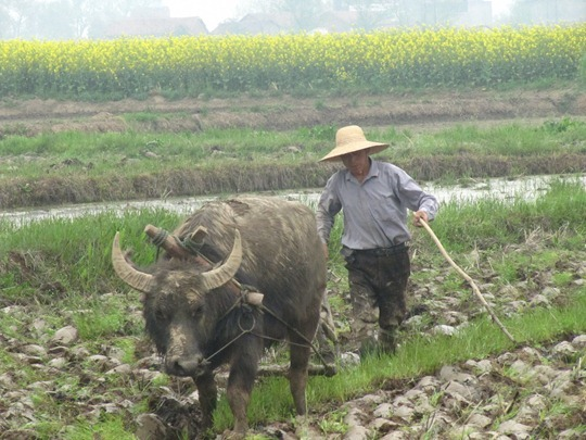A Chinese farmer ploughing a field with a water buffalo