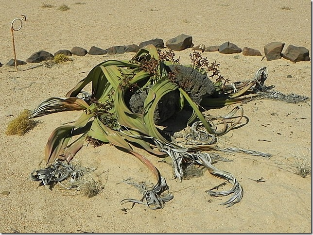 Welwitschia_DSCN6490