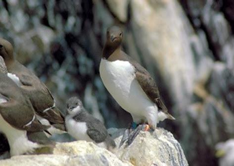 Amazing Pictures of Animals, Photo, Nature, Incredibel, Funny, Zoo, Guillemots, seabird, Bird, Alex (16)