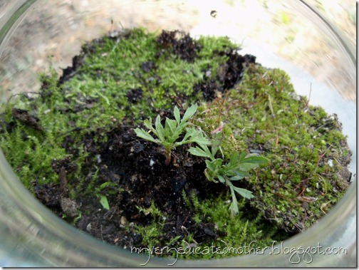 Terrarium with moss and marigolds