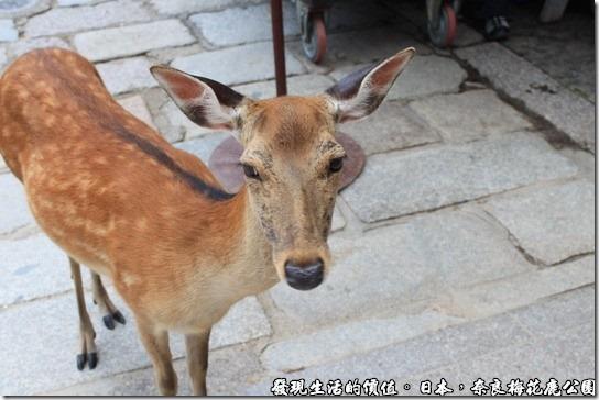 奈良梅花鹿公園,看牠一付無辜樣,大概沒有吃飽吧。