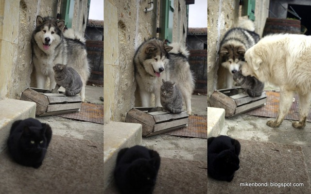 Three phases of cat reactions to dogs : surprise - resignation - ear-cleaning