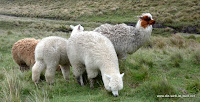 kuschelige Lamas