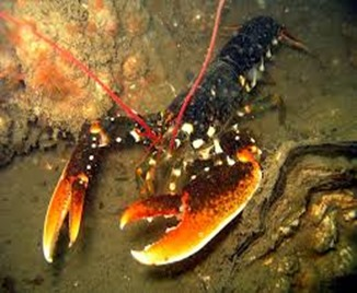 Amazing Pictures of Animals, photo, Nature, exotic, funny, incredibel, Zoo, Homarus gammarus, European lobster or common lobster, Alex (16)