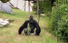 2001.09.04-148.08 gorilles