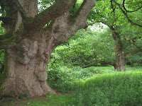 Birnam Oak