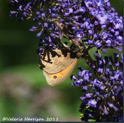 Meadow-Brown (3)