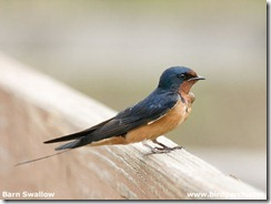 Barn_Swallow-01