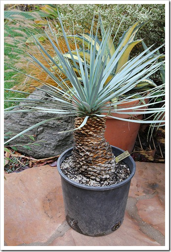 111120_yucca_rostrata_from_poots