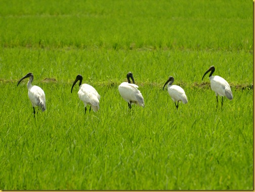 black headed ibis photos from india
