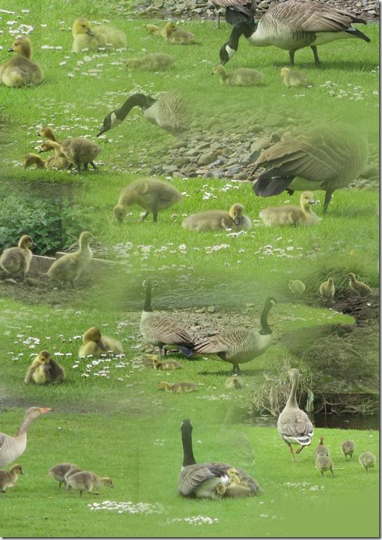 goslings-4