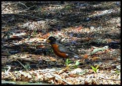 03 - Robin
