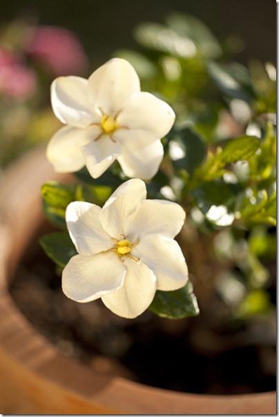 Gardenia09