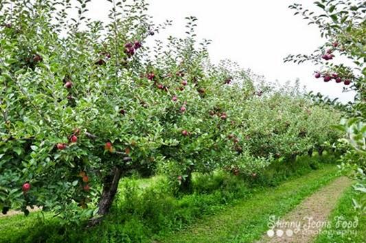 apples-1-2LRSJ