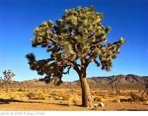 'Joshua Tree National Park' photo (c) 2004, Tobias - license: https://creativecommons.org/licenses/by/2.0/