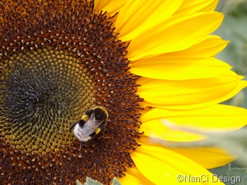 Sonnenblume#mit#Hummel