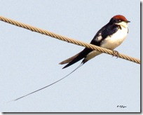 .7 Wire tailed Swallow ( 138 kb )