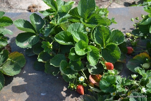 Great-looking strawberry plants