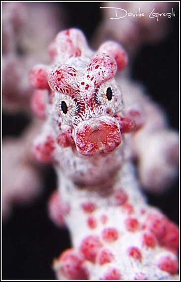 Amazing Pictures of Animals, Photo, Nature, Incredibel, Funny, Zoo, Pygmy seahorse,  Syngnathidae ,Alex (1)