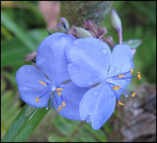 01-23-spiderwort2