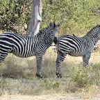 Ruaha Nationalpark, Zebras © Foto: Ulrike Pârvu | Outback Africa Erlebnisreisen