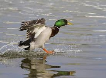 Amazing Pictures of Animals, photo, Nature, exotic, funny, incredibel, Zoo,  Mallard, Wild Duck (Anas platyrhynchos), Alex (8)