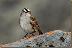 bo White-crowned Sparrow D7K_9560 NIKON D7000 June 20, 2011