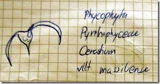 Cerastium