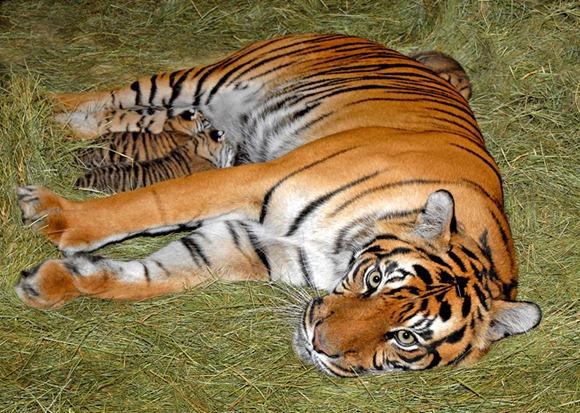 Sumatran Tiger Cubs 04