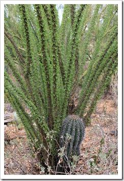 120728_ArizonaSonoraDesertMuseum_Fouquieria-splendens- -Carnegiea-gigantea_01