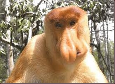 Amazing Pictures of Animals photo Nature exotic funny incredibel Zoo Proboscis monkey, long-nosed monkey, mammalia.Alex (9)