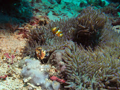 Crab and anemone at Mimpang, Pandangbai