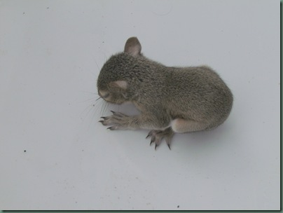 baby squirrell