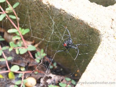 #garden #blackwidowspider