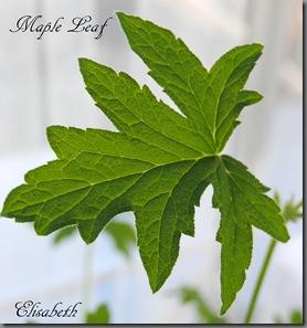Pelargonium mars 2012 014