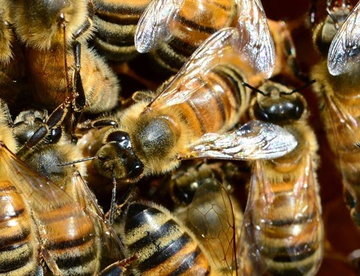 Buckfast honey bees