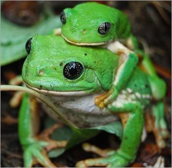 ranas verdes1 50%