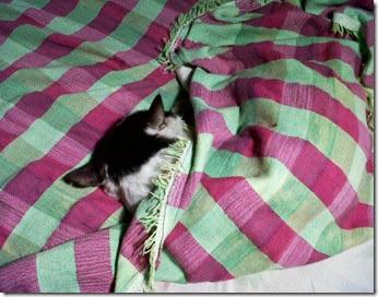 Zardos cat in a blanket