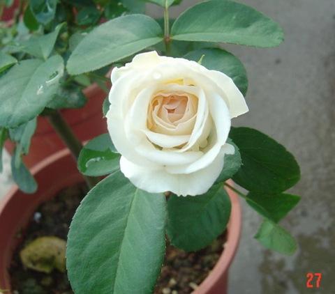白色梅安03白色梅楊