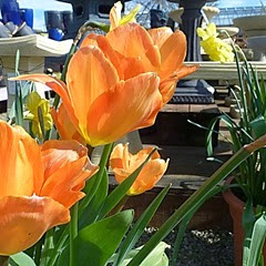 tulips ornj