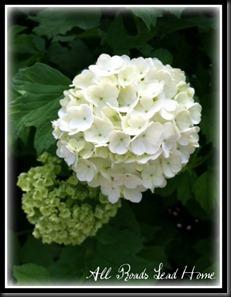 snowball bush3 ARLH