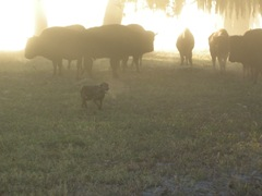 feed cows 096