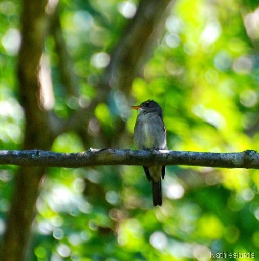 16. E. wood pewee-kab