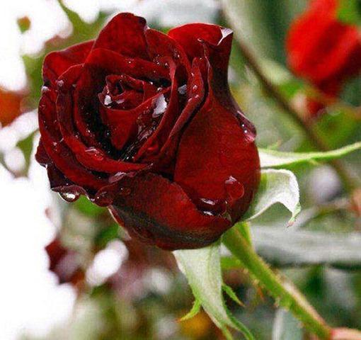 rosa-vermelha-orvalho