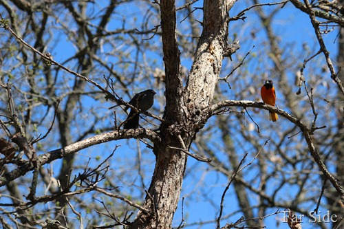 Catbird and Oriole sharing a tree