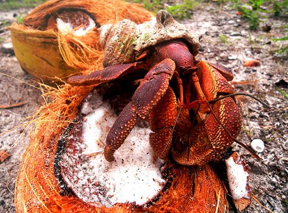 crab16