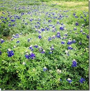Bluebonnet, a flor símbolo do Texas Autora Luciana Misura