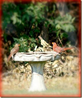 Cardinals on birdbath